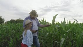 La muchacha con el abuelo en campo de maíz, el granjero de abuelo está enseñando a la generación más joven usando una tableta El  almacen de metraje de vídeo