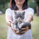 La muchacha con sus manos en un gatito gris Imagenes de archivo