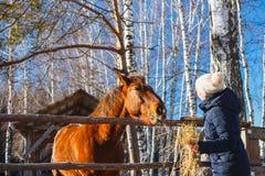 La muchacha da el heno del caballo con las manos extendidas imagen de archivo libre de regalías