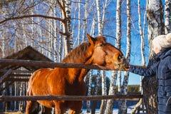 La muchacha da el heno del caballo con las manos extendidas imagenes de archivo