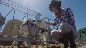 La muchacha de granja está acariciando el pequeño becerro almacen de metraje de vídeo