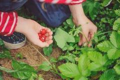 La muchacha del niño en el impermeable rayado que escoge las fresas orgánicas frescas en verano lluvioso cultiva un huerto Imagenes de archivo