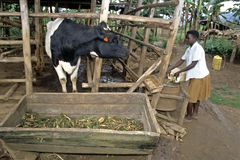 La muchacha del Ugandan da la vaca para comer y para beber Fotografía de archivo