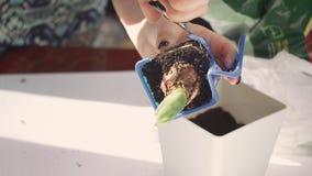 La muchacha en casa trasplanta una planta verde en un pote almacen de metraje de vídeo