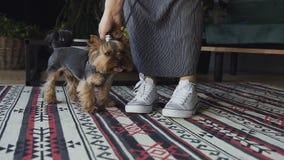 La muchacha en los kedes del blanco acaricia las razas del perro el terrier y los controles de Yorkshire del correo El amor de na almacen de video
