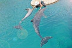 La muchacha en los movimientos del sombrero los delfínes y tomar el cuidado de ellos Día soleado con los animales juguetones, la  fotos de archivo