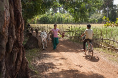 La muchacha es vacas de una cuerda del campo Foto de archivo libre de regalías