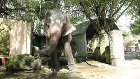 La muchacha está alimentando el elefante en el parque zoológico Tailandia, Phuket