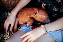 La muchacha está jugando con los cerdos recién nacidos rojos de la raza del Duroc-Jersey El concepto de cuidar y de cuidar para l imagenes de archivo