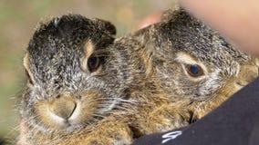 La muchacha está sosteniendo el pequeño conejito mullido salvaje del bebé dos Poco conejito en la palma almacen de metraje de vídeo
