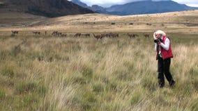 La muchacha está tomando a Guanaco de las imágenes el mamífero exótico animal salvaje en las montañas de los Andes almacen de metraje de vídeo