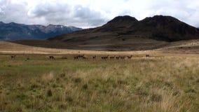 La muchacha está tomando a Guanaco de las imágenes el mamífero exótico animal salvaje en las montañas de los Andes almacen de video