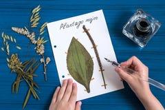 La muchacha hace el herbario de comandante del Plantago de las hierbas Foto de archivo libre de regalías