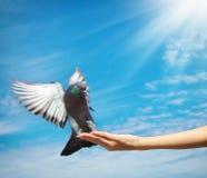 La muchacha introduce la paloma Imagen de archivo