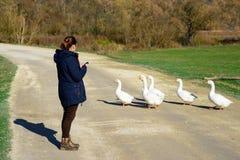 La muchacha mira los gansos Foto de archivo libre de regalías