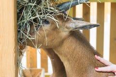 La muchacha que frota ligeramente la cabra camerunesa que come el heno del canal Fotografía de archivo libre de regalías