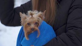 La muchacha que sostenía el pequeño terrier de Yorkshire cubrió en manta al aire libre Cierre para arriba Cámara lenta almacen de video