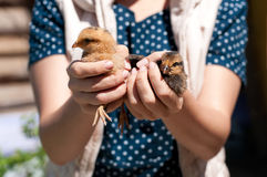 La muchacha sosteniendo pequeños pollos Imagenes de archivo