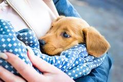 La muchacha sostiene un pequeño perro cocker spaniel del perro en su hands_ fotografía de archivo libre de regalías