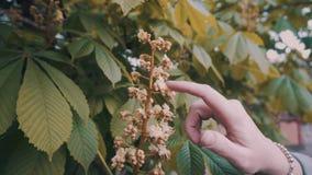 La muchacha suavemente y funciona con suavemente su finger sobre las flores de un árbol floreciente Marco conmovedor apacible almacen de video