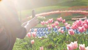 La muchacha tira tulipanes rosados en un teléfono móvil Escapes ligeros en la cámara almacen de metraje de vídeo