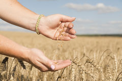 La muchacha ve la cosecha de cereales en el campo, vaciándolo a partir de una mano a la otra Fotografía de archivo libre de regalías
