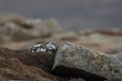 La mue de muta de Lagopus de lagopède alpin au printemps était perché et marchant en parc national de pierre de Cairngorm, Ecosse Photo libre de droits