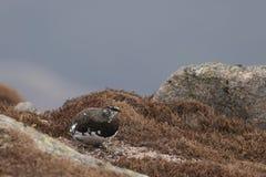La mue de muta de Lagopus de lagopède alpin au printemps était perché et marchant en parc national de pierre de Cairngorm, Ecosse Images libres de droits