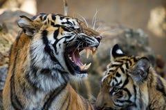 La mueca de un tigre del sumatran imágenes de archivo libres de regalías