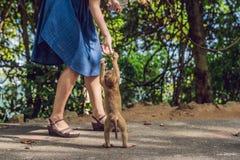 La mujer alimenta las nueces del whith del mono Foto de archivo