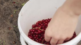La mujer cae bayas de una pasa roja del Redcurrant en un cubo durante la acopio de bayas Bayas de la cosecha en jardín de la frut almacen de video