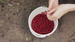 La mujer cae bayas de una pasa roja del Redcurrant en un cubo durante la acopio de bayas Bayas de la cosecha en jardín de la frut almacen de metraje de vídeo