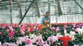 La mujer comprueba ciclamen en potes mientras que trabaja en un invernadero metrajes