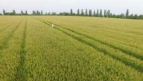 La mujer con el pelo rubio en un vestido azul corre en el campo con trigo metrajes