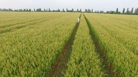 La mujer con el pelo rubio en un vestido azul corre en el campo con trigo almacen de metraje de vídeo