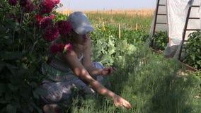 La mujer cosecha las ramitas del eneldo se puso en cuclillas cerca de dalia en jardín del país Fotos de archivo libres de regalías