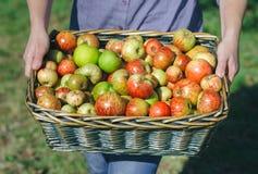 La mujer da sostener la cesta de mimbre con las manzanas orgánicas Imagen de archivo libre de regalías