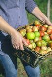 La mujer da sostener la cesta de mimbre con las manzanas orgánicas Foto de archivo