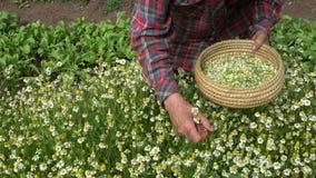 la mujer del herborista da a manzanilla de la cosecha las flores médicas almacen de metraje de vídeo