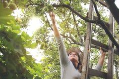La mujer del jardín está cogiendo manzanas en escalera Foto de archivo libre de regalías