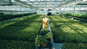 La mujer empuja un carro por completo de los ramos del tulip?n, trabajando en un invernadero moderno almacen de video