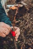 La mujer envuelve un árbol del injerto con una cinta aislante en el jardín para detener la humedad en ella en primer fotografía de archivo
