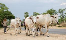 La mujer es manada principal de vacas en el pasto alrededor del camino fotos de archivo