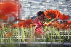 La mujer escoge las flores en invernadero Fotos de archivo libres de regalías
