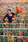 La mujer escoge las flores en invernadero Imagenes de archivo