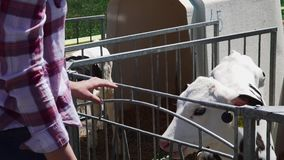 La mujer está alimentando el becerro en la granja almacen de metraje de vídeo