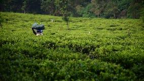 La mujer está llevando té verde cosechado almacen de video