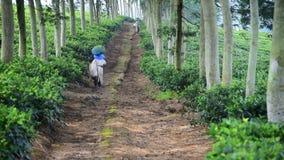 La mujer está llevando té verde cosechado metrajes