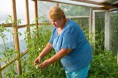 La mujer está trabajando difícilmente en un invernadero. Foto de archivo libre de regalías