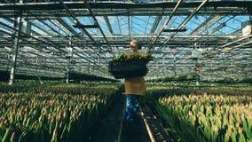 La mujer feliz lleva tulipanes en una cesta negra mientras que trabaja en un invernadero con las flores metrajes